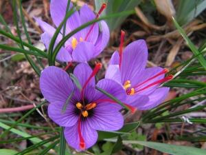 crocus-sativus